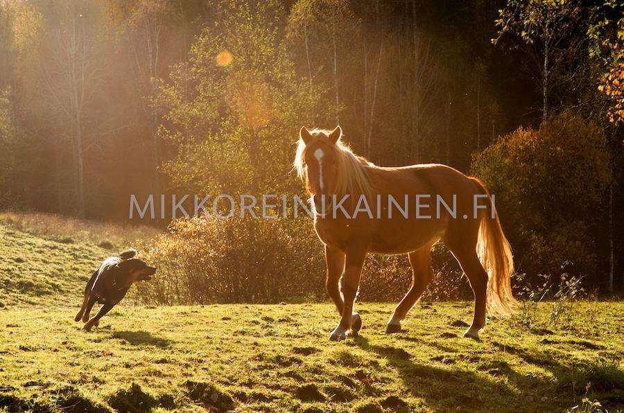 Koira ja hevonen ilta-auringossa