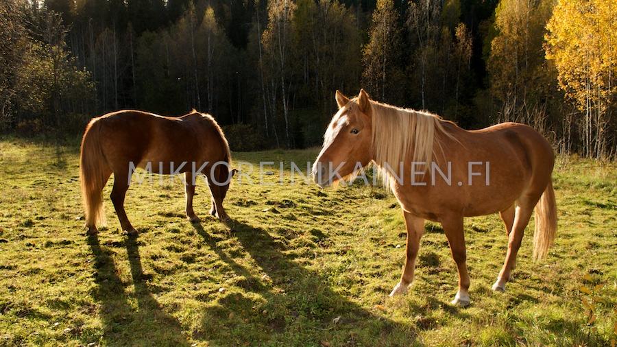 Hevoset niityllä syksyisessä auringossa