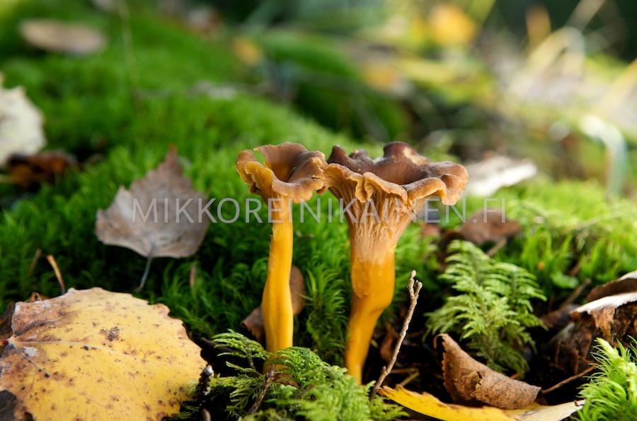 Sienet syksyisessä metsässä